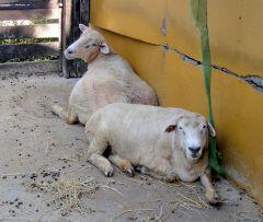 羊・熱いぞう.jpg